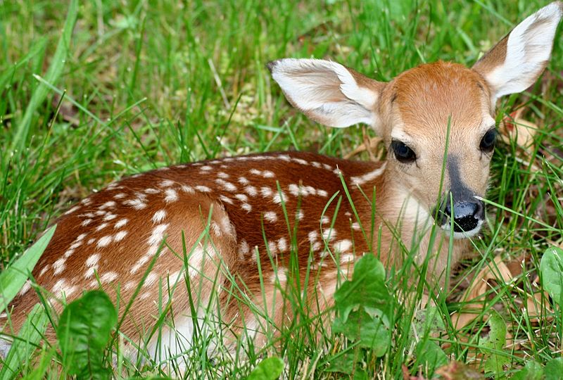 Fawn, post-diapause https://commons.wikimedia.org/wiki/File:Fawn-in-grass.jpg - Credit: ForestWander