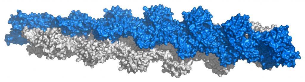 Actin_filament_atomic_model