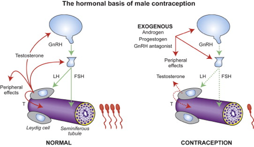 The mechanism by which testosterone inhibits spermatogenesis. Image taken from Chao et. Al 2014.