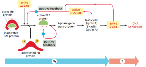 Rb protein pathway