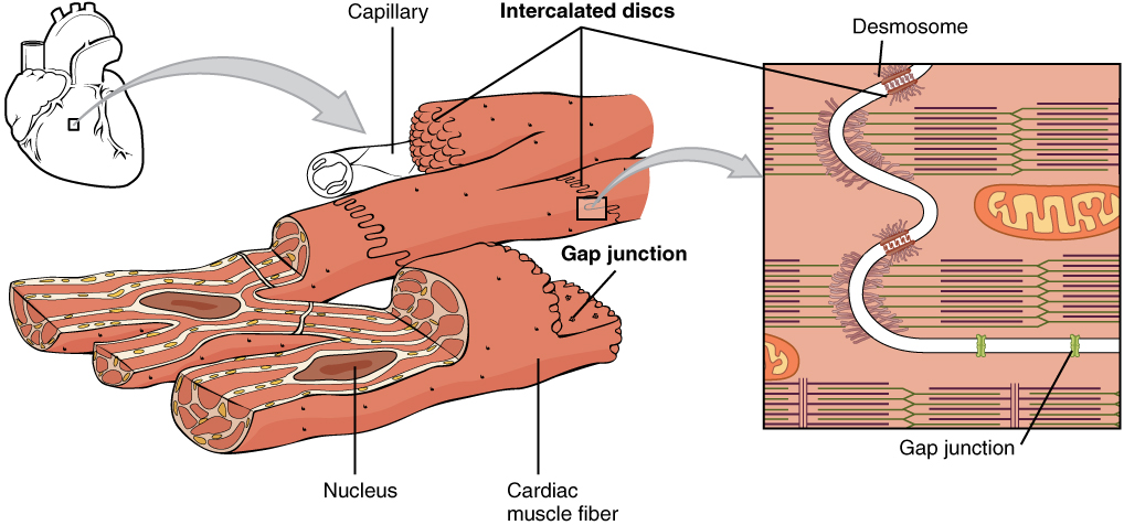 1020_Cardiac_Muscle CC BY 3.0