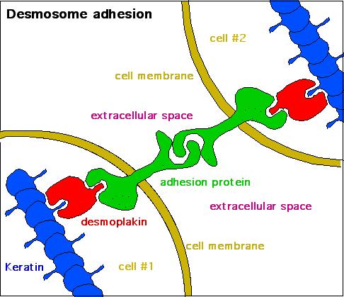 Desmosome_-_2 CC BY-SA 3.0