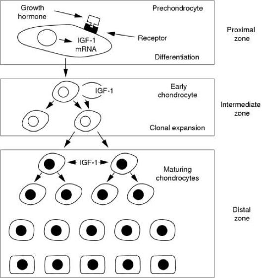 Figure 2. Paracrine insulin-like growth factor 1 (IGF-1) secretion and endocrine IGF-1 targets leading to enhanced growth (Laron 2001)