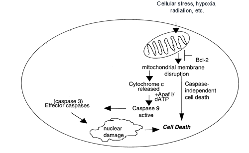 The intrinsic apoptotic pathway, initiated by mitochondrial damage (http://www.bloodjournal.org/content/95/7/2378?sso-checked=true).