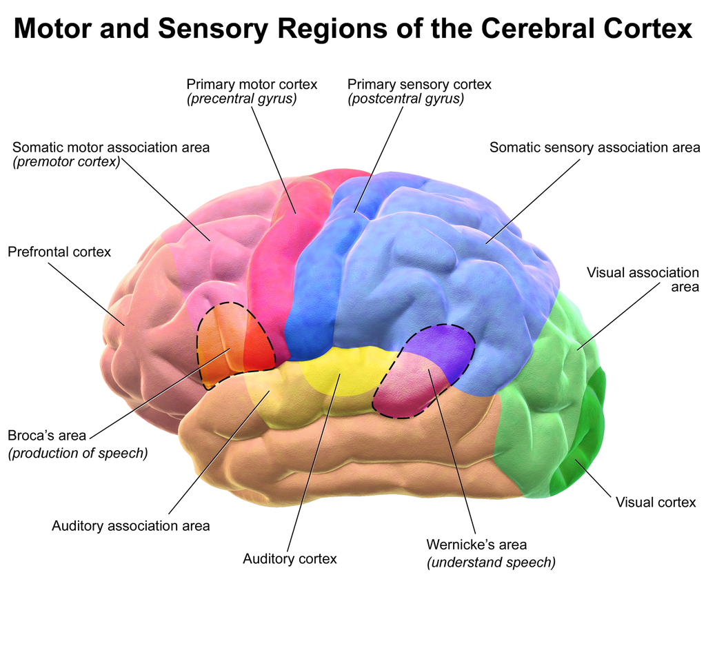 Illustration of brain's cerebral cortex and various function regions. Illustration by Bruce Blausen, licensed under the Creative Commons Attribution 3.0 Unported license.