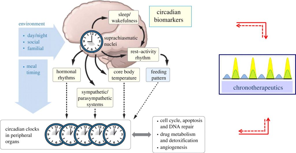 Outline of the circadian rhythm timing controlled largely by the Suprachiasmatic Nucleus (SCN) in the brain. Image retrieved from: http://rsfs.royalsocietypublishing.org/content/1/1/48