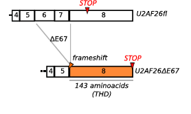 Schema of the frameshift that occurs when U2af26 is alternatively spliced. This causes exon 6 and 7 to not be ligated into the mature mRNA and exon 8 becomes fully available. THD stands for Timeless homology domain which is a homologue to Drosophila melanogaster's timeless gene which is why this alternatively spliced gene is believed to be related to Retrieved from: http://www.cell.com/molecular-cell/abstract/S1097-2765(14)00326-8?_returnURL=http%3A%2F%2Flinkinghub.elsevier.com%2Fretrieve%2Fpii%2FS1097276514003268%3Fshowall%3D