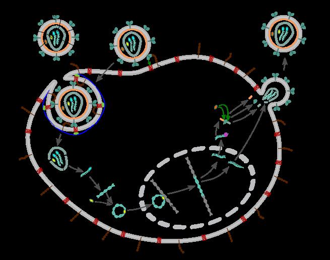 hiv-replication-cycle-en