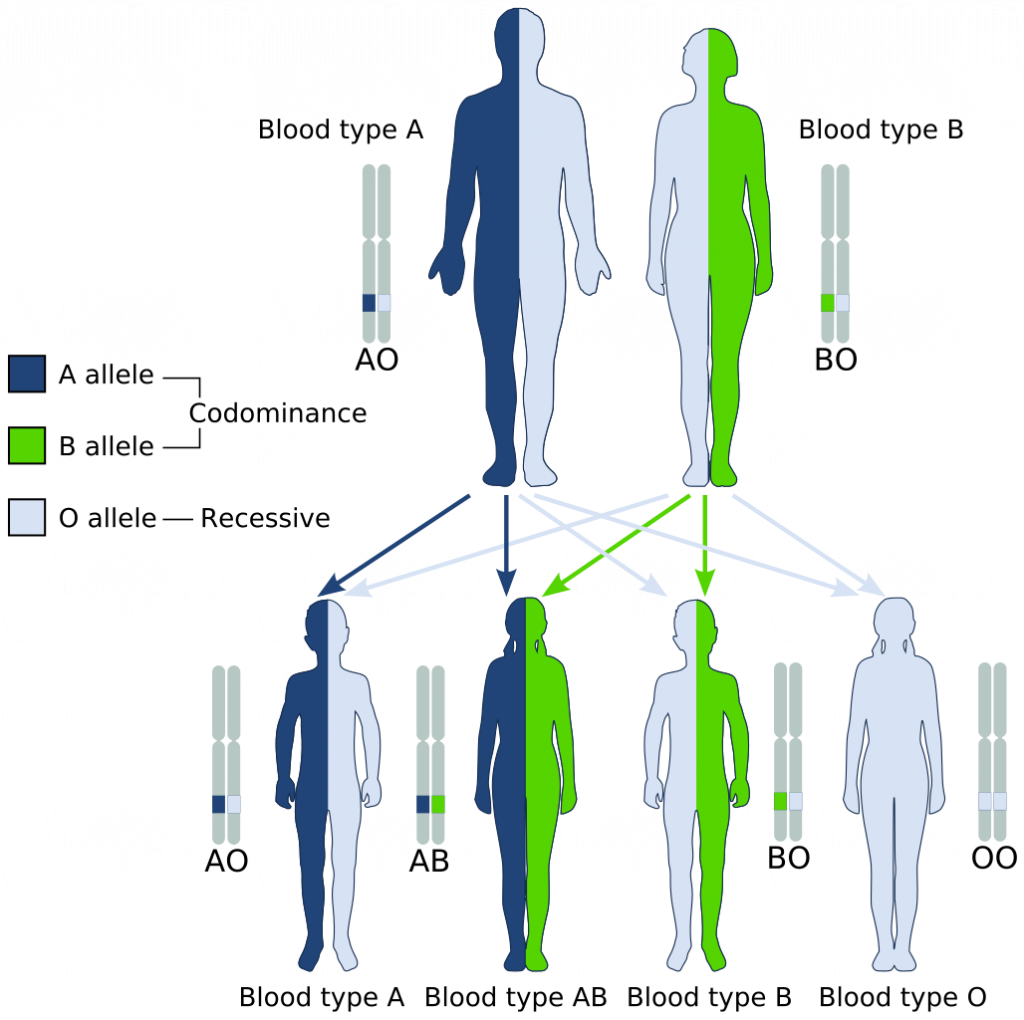 Figure 2. Example of how blood type alleles can be inherited from parents. Image Rights: Public Domain